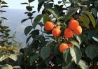 柿子种植效益分析