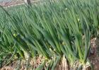 葱的种植效益分析