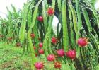 火龙果种植效益