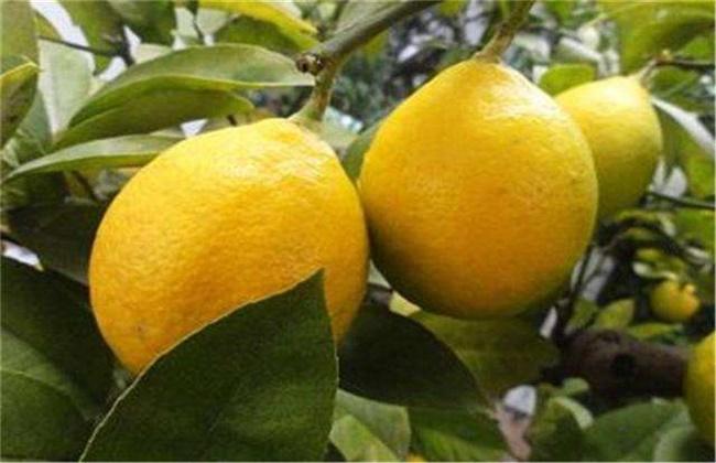 柠檬种植效益