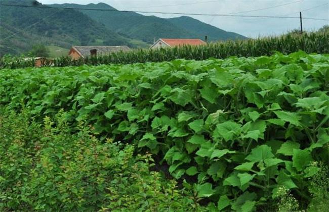 雪莲果 种植 效益