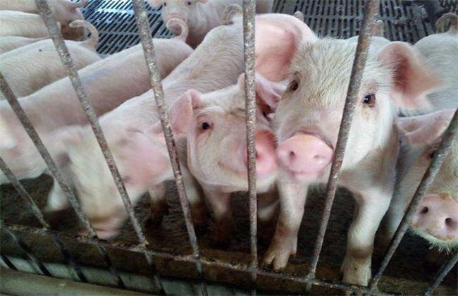 猪发生热应激该怎么办