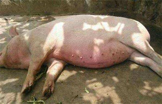 猪 发生热应激 该怎么办