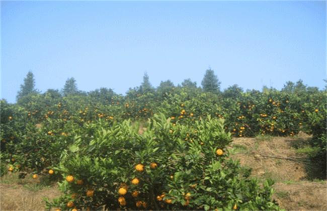 脐橙种植效益