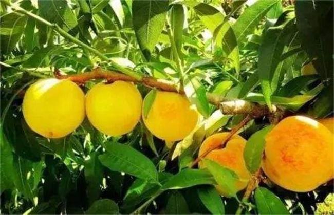 黄桃种植效益
