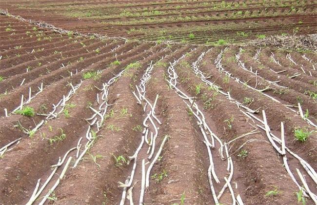 甘蔗的种植效益分析
