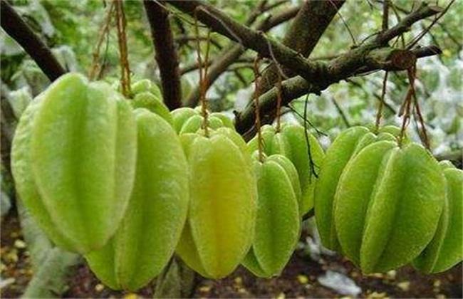 杨桃种植效益