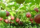 百香果种植效益