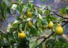 梨树种植效益