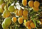 芒果种植效益