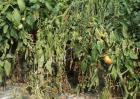 番茄死苗的原因是什么