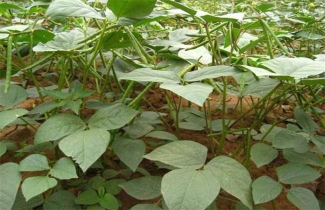 绿豆 高产种植 方法