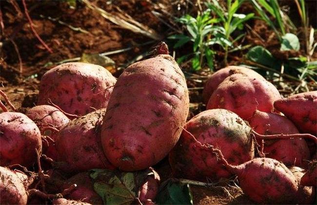 红薯 种植效益 分析