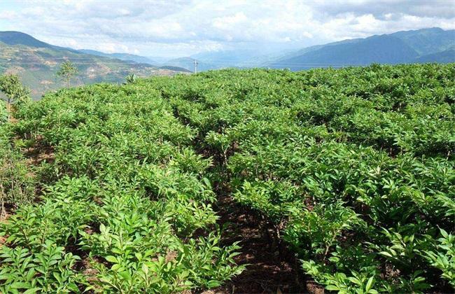 魔芋 种植效益 分析