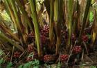 草果种植效益分析