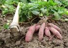 红薯种植效益分析