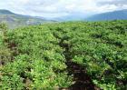魔芋种植效益分析