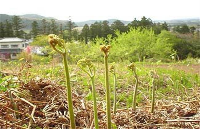 蕨菜种植效益