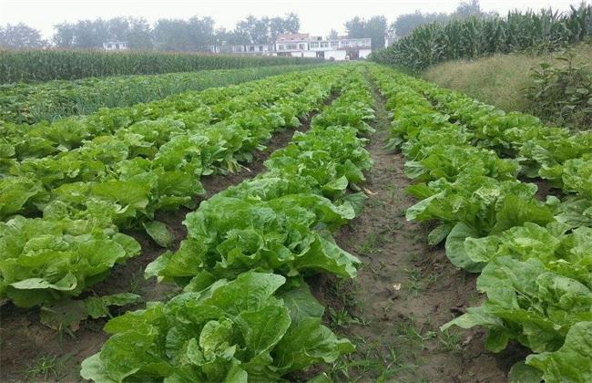 生菜 种植效益 分析