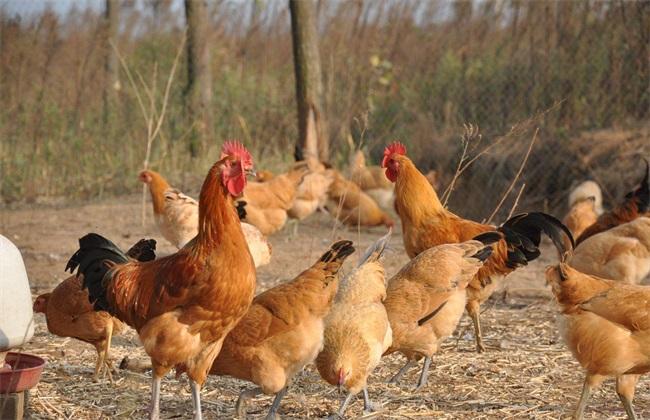 鸡 种类图片 名称