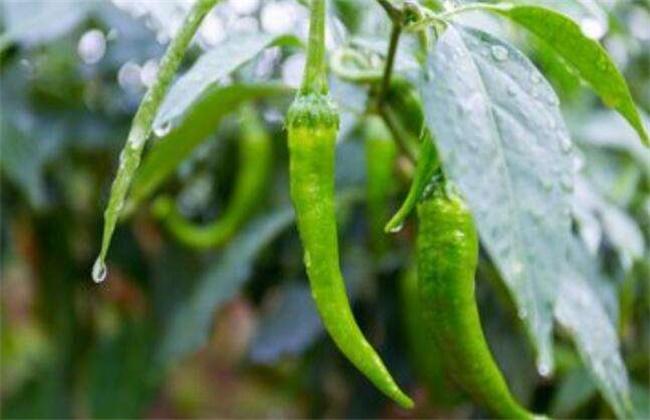 辣椒坐果率低原因
