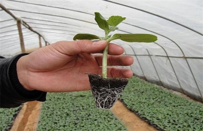西瓜 播种育苗 技术