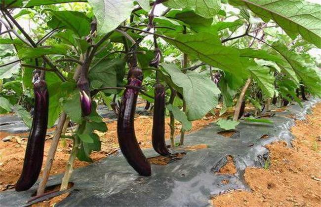 茄子种植效益