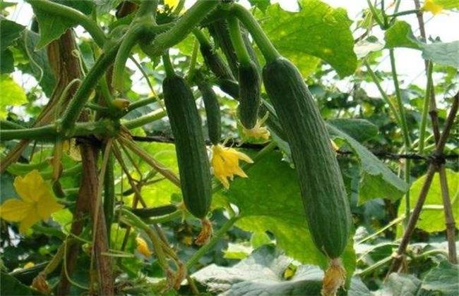 黄瓜 种植效益 怎么样