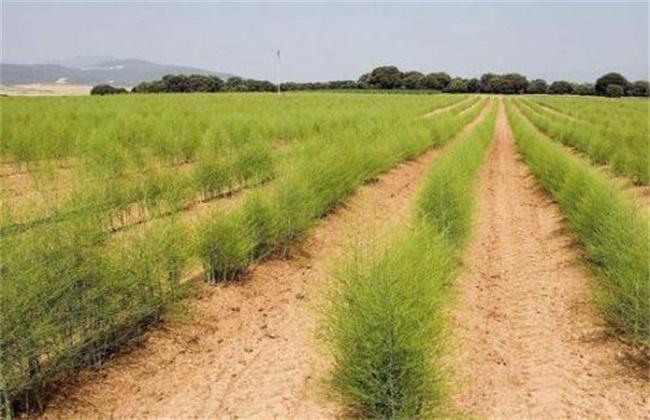 芦笋种植效益