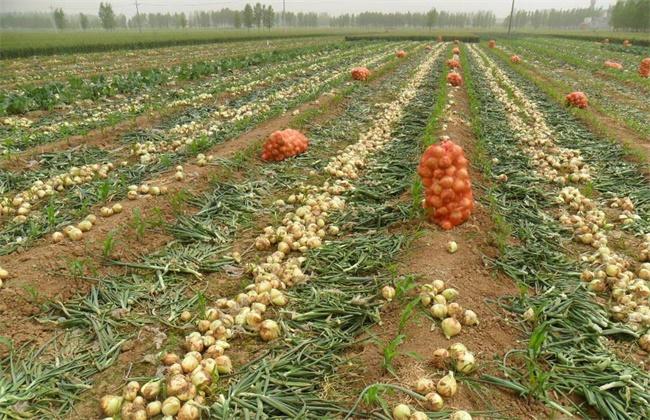 洋葱种植效益
