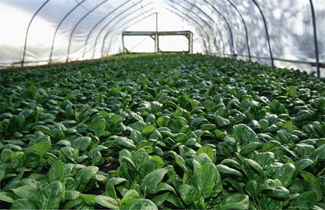 菠菜 种植 效益