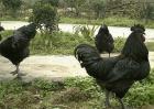 鸡的种类图片及名称