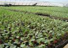 西瓜播种育苗技术