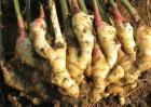 生姜种植效益分析