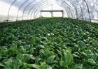 菠菜种植效益