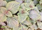 紫苏种植效益