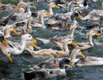 鸭的种类及图片