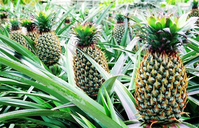 菠萝常见种类及图片大全