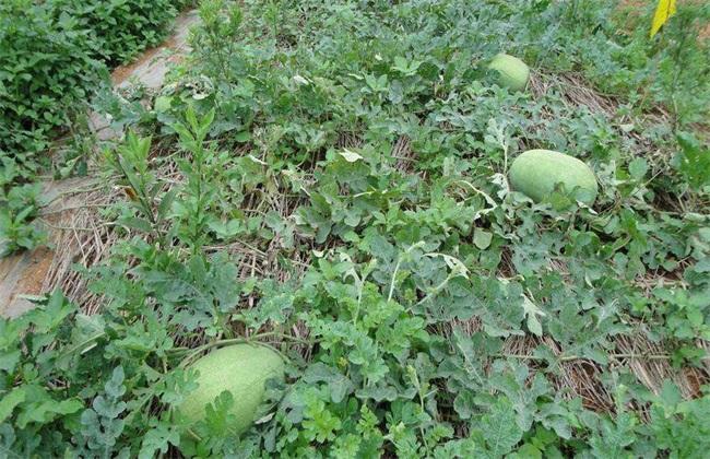 西瓜 常见品种 图片