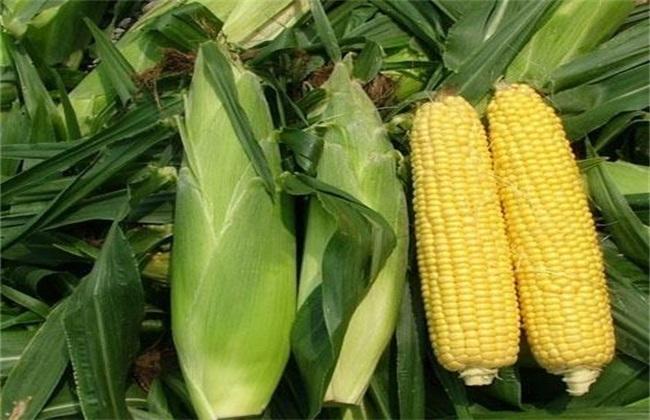 玉米常见的种类及图片