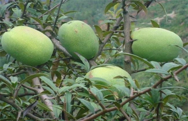 木瓜 常见品种 图片