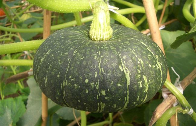 南瓜 种植效益 分析