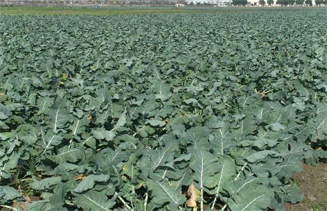 花菜 种植效益 怎么样