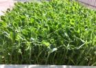 豌豆育苗技术