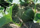 南瓜种植效益分析