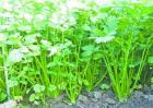 香菜种植效益
