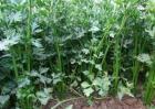 芹菜种植效益