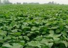 大豆种植效益分析