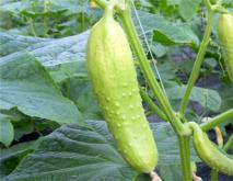 黄瓜常见的种类及图片