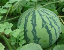 西瓜常见品种及图片